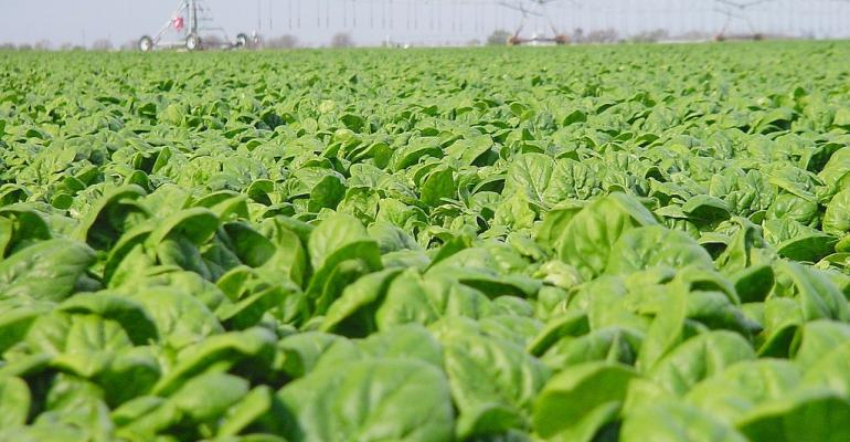 Marketfresh spinach was among several vegetable crops that performed well for Texas producers this year Texas AampM AgriLife economists said a combination of good soil moisture and light pest pressure provided good overall crop conditions among large producers