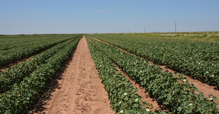 As the West Texas cotton crop moves toward maturity production estimates tag statewide harvest at 63 million bales