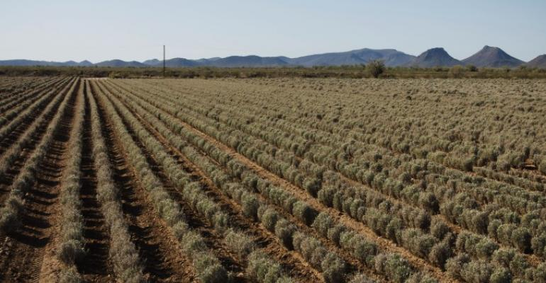 Guayule could gain a foothold in commercial agriculture in Arizona New Mexico and West Texas if commercial companies successfully sign grower contracts to plant thousands of acres of the perennial desert shrub which produces natural rubber resins and bagasse Will the plant find a home in Southern California farm fields