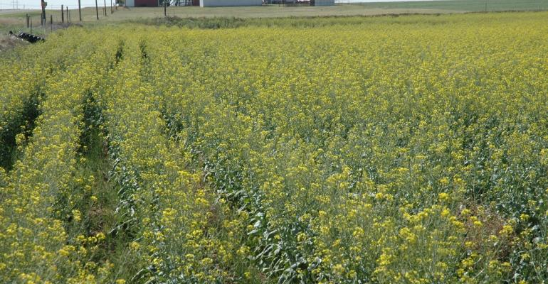 Winter canola could be an attractive alternative to wheat for teh 201617 marketing season