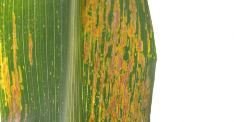 The lesions of bacterial leaf streak are translucent when held up to the light according to Dr Tom Isakeit Texas AampM AgriLife Extension Service plant pathologist