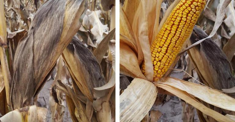 Figures 1a and b Growth of fungi feeding on deaddecaying tissue and their black spores on corn husks a and other plant parts may give it a dark dusty appearance especially during harvest The ear itself is usually unaffected by these fungi b
