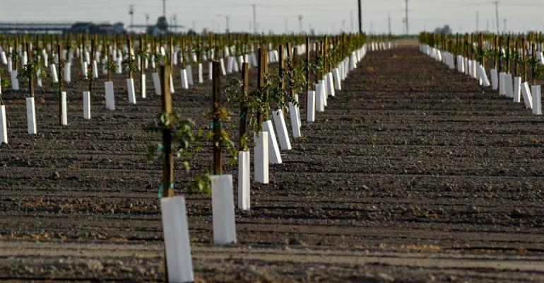 145 million almond trees planted in California within past year