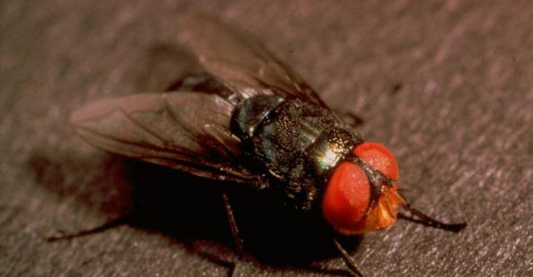 The screwworm fly lays eggs on live animal wounds The primary or New World screwworm as itrsquos called is a serious pest of all mammals including livestock wildlife birds and humans though its presence is rare but possible in birds and humans