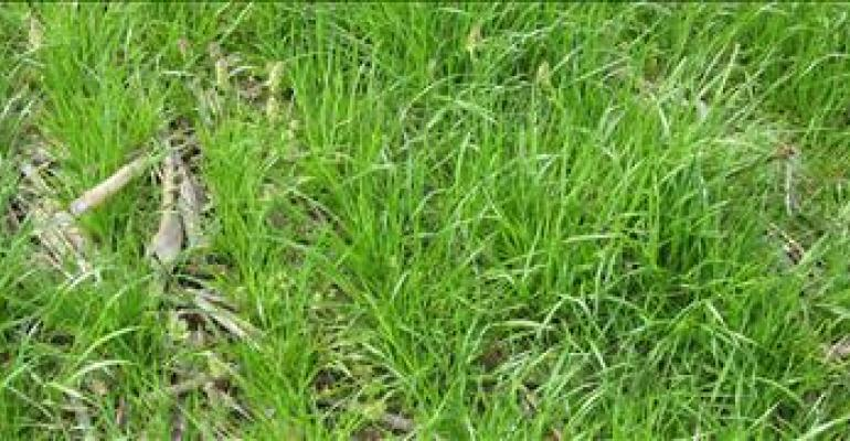 Key tips for terminating annual ryegrass before planting