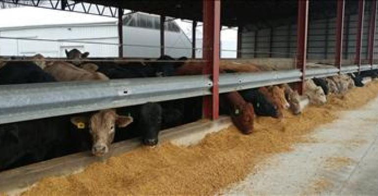 Amaferm may improve early calf performance in transitioning feedlot diets