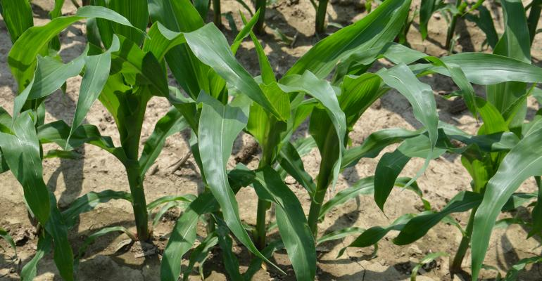 corn plants emerging from ground