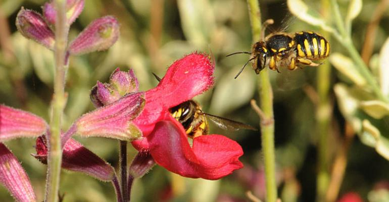 Wool carder bees not the terrorists that some think