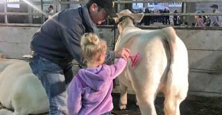 Kevin Johansen shows daughter, Harper, how to comb a Charolais heifer