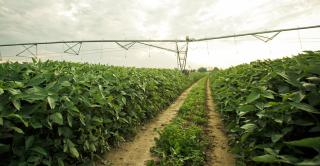 irrigation in soybeans