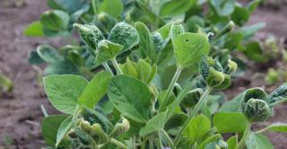 Closeup of soybeans with dicamba drift damage