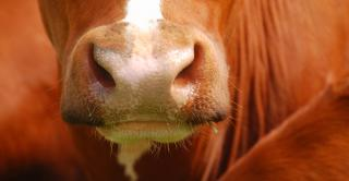 red cow's nose