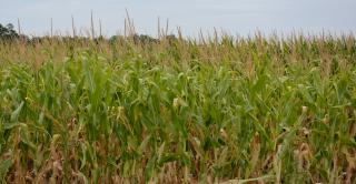 closeup of corn field
