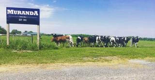 Cows graze in a pasture beside signage for the Muranda dairy, established in 1991