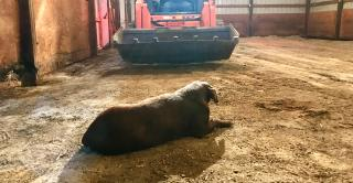 farm dog calmly sitting in the path of oncoming skid loader