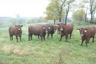 Red cattle on pasture