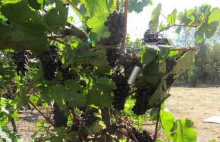 GL1024-tim-hearden-grapes-on-vine_BT_Edits.JPG