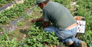 Immigrant worker in strawberry field.