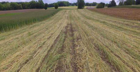 Rye, sprayed with herbicide, lies over a field of planted corn