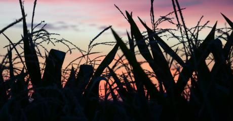 silhouettes of cornstalks against sunset