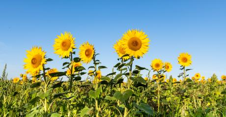Sunflowers blooming in a field