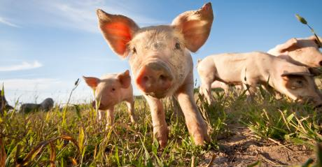 Small pigs grazing through field