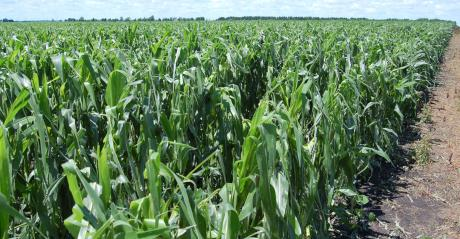 cornfield with signs of hail damage