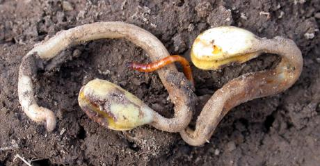 wireworm on soybean seedling