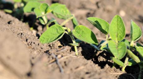 young soybean plants emerging from soil