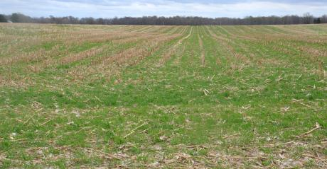 field of cover crops