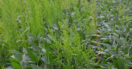 marestail overtaking soybeans