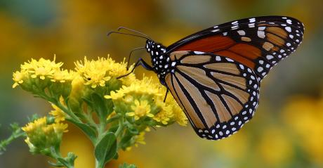 Monarch butterly on flower