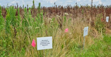 marestail took over a small plot of land
