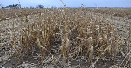 corn ready to be harvested