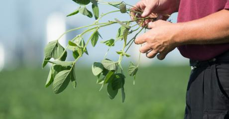 hands inspecting soybean plant