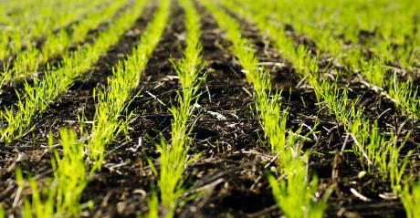 closeup of young wheat plants