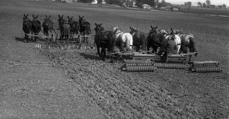 horses and mules cultivating field