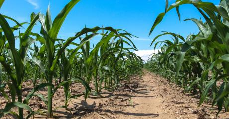 Ground level view of rows of corn