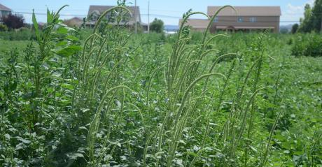 ALS-resistant Palmer amaranth  in dry beans