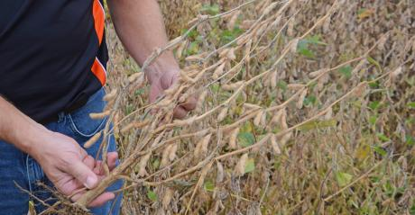 soybean plant with lots of branching