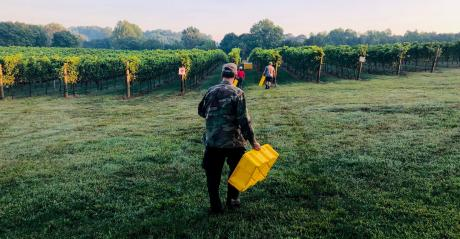 Workers gather for the harvest at Robin Hill Farms and Vineyard