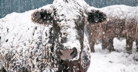 closeup of beef cow covered in snow