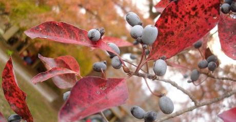 A close up of berries on a tree with red leaves