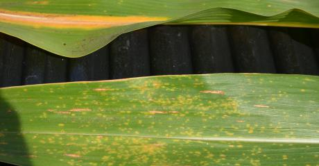 upper leaf shows classic signs of nitrogen deficiency with a yellow streak