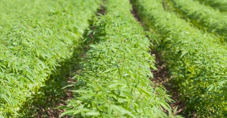 closeup of rows of young hemp plants