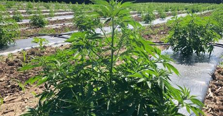 industrial hemp plant