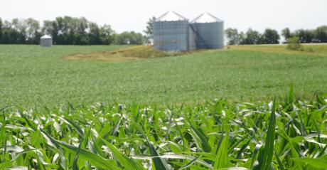 Field of corn with silos in the background
