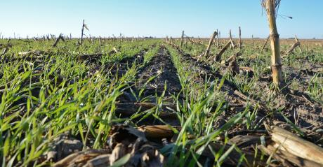 ground-level closeup view of green cover crop growing in corn stubble