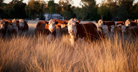 cattle in field at sunset