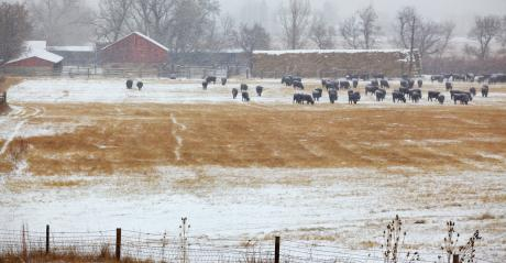 cattle grazing in winter pasture with snow